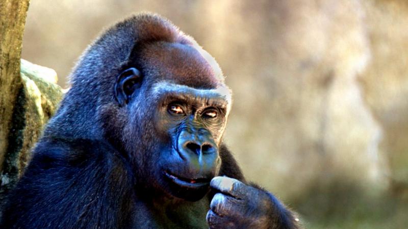 Sauver les gorilles avec vos vieux smartphones, c'est possible