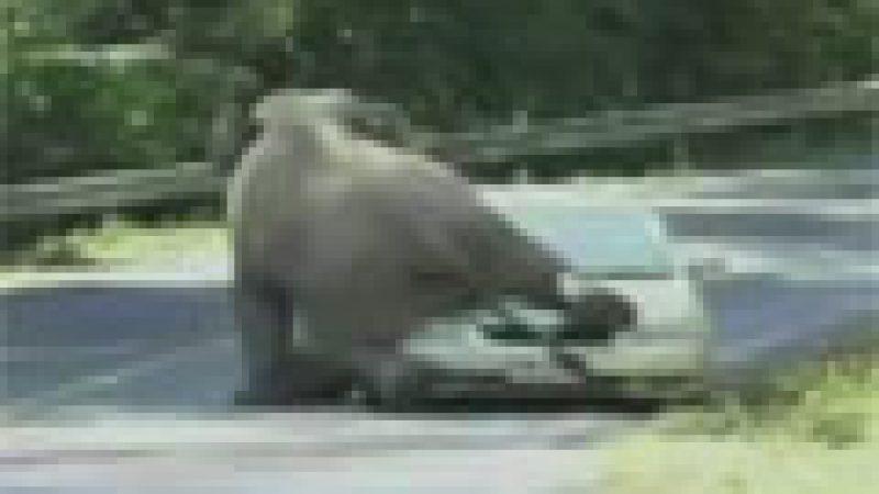 Zapping : Un éléphant qui s'accouple avec une voiture…