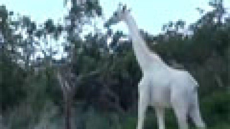Zapping : Une girafe blanche découverte au Kenya, etc.